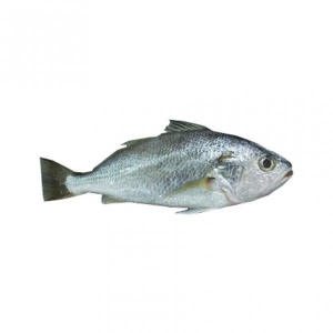 Kora / Silver Croaker Fish 500g