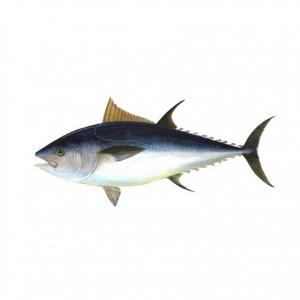 Tuna (medium Size) 500g