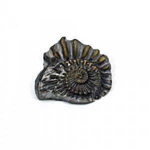 Natural Ammonite Fossils Gold Iron Pyrite 33x32mm 40.25 Cts Freeform Loose Gemstone