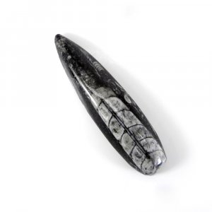 Orthoceras Fossil 76X19mm Pear Cabochon 106.30 Cts