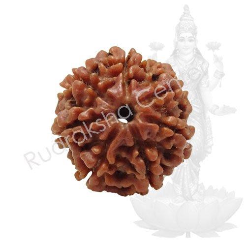 7 Mukhi Nepalese Rudraksha