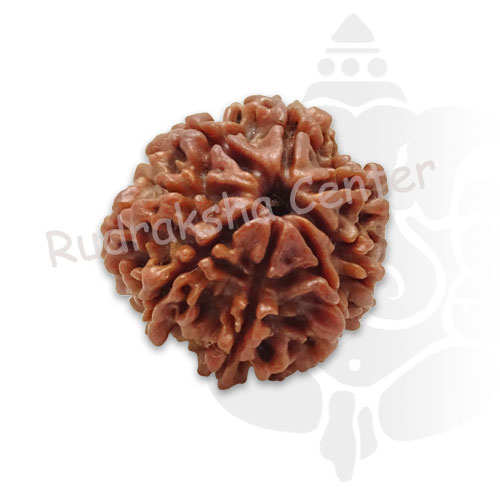 8 Mukhi Nepalese Rudraksha
